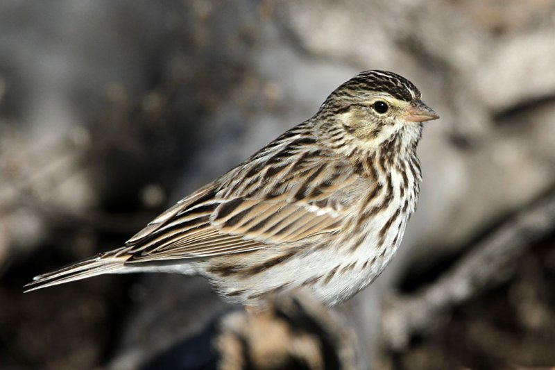 sparrow-savannah6941-1024.jpg
