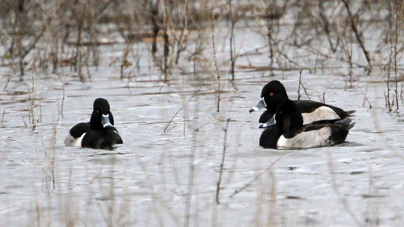 duck-ringnecked1716-1024.jpg