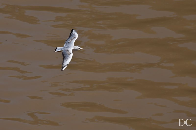 gull over Vltava River