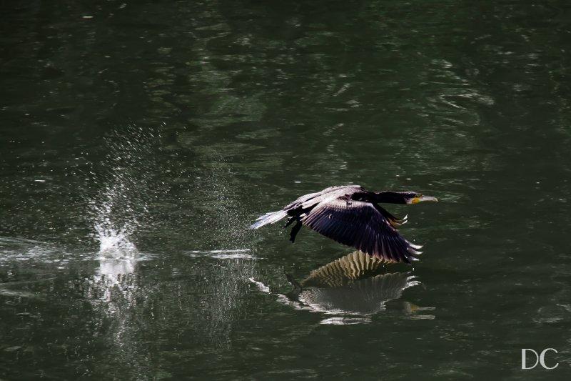 cormorant taking flight on the river Main