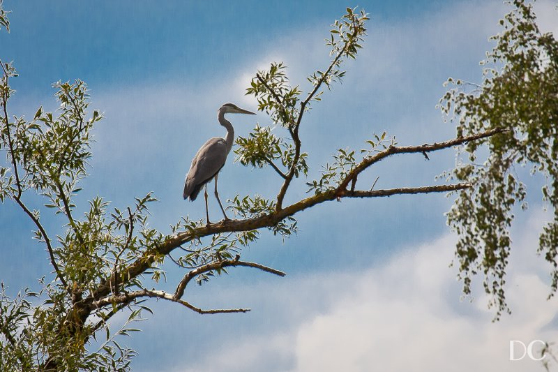 blue heron seen from the River Main