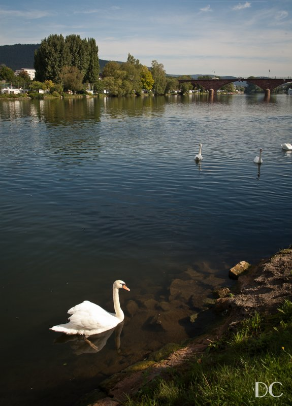 swan on the River Main