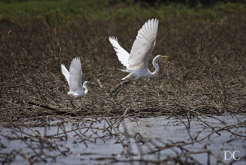 common egrets, Panama