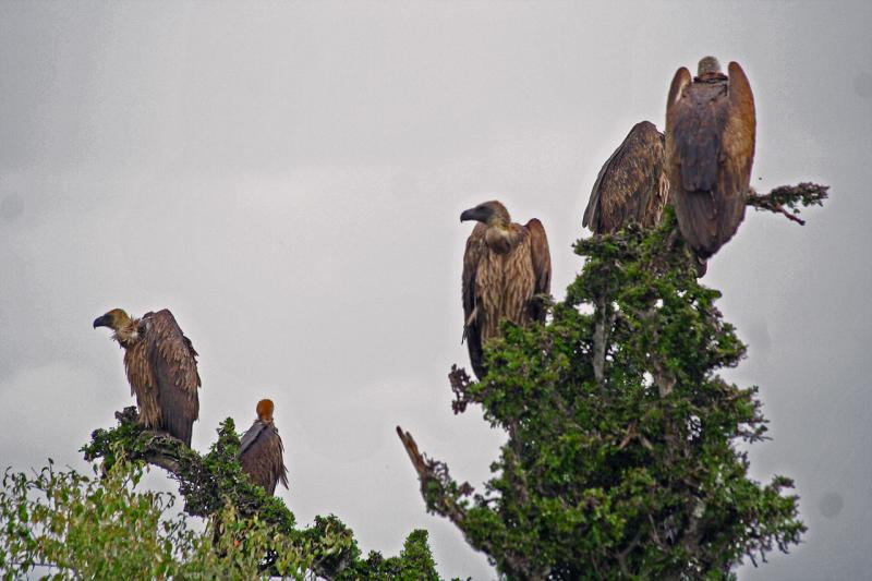 ... and more vultures