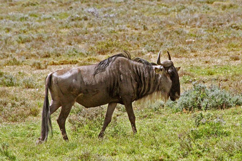 Solitary wildebeest