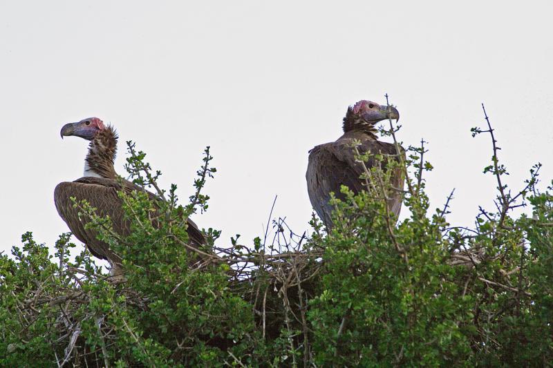 Vultures ...