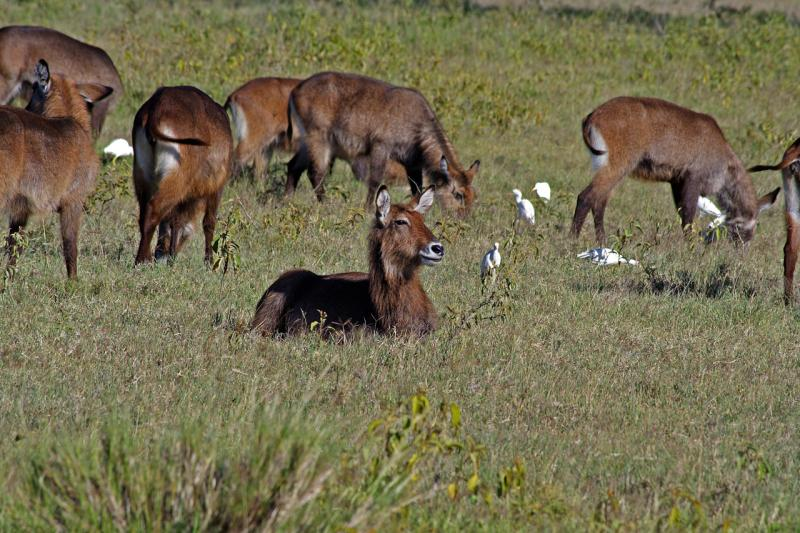 Female waterbuck with egrets