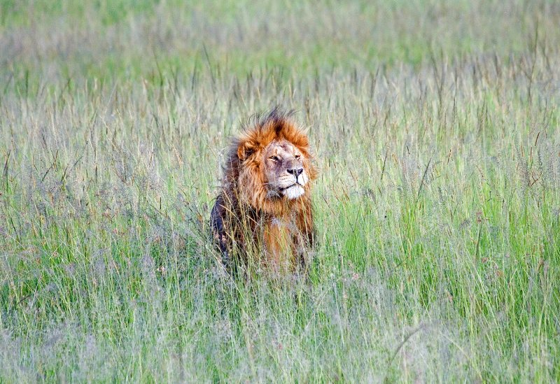 Lion in deep grass