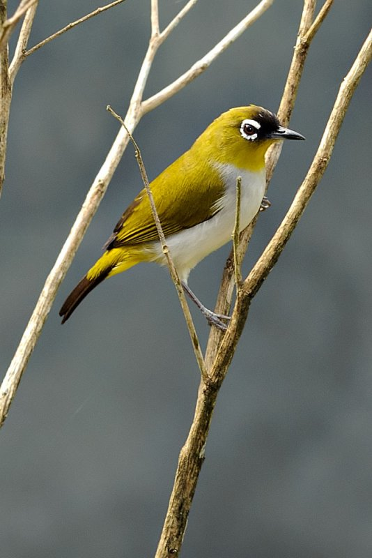 Zosterops atricapilla (Black-capped White-eye)