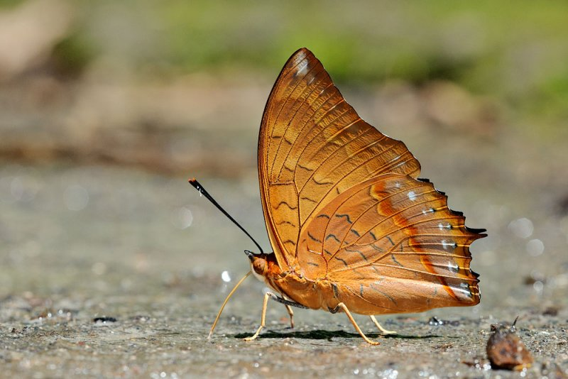 Charaxes affinis affinis.jpg
