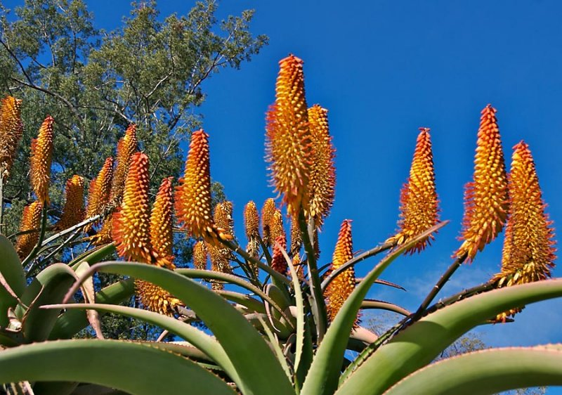 Aloe (South African)