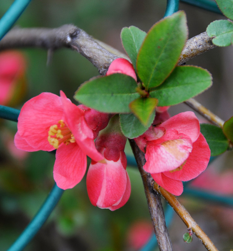 Quince Blossoms