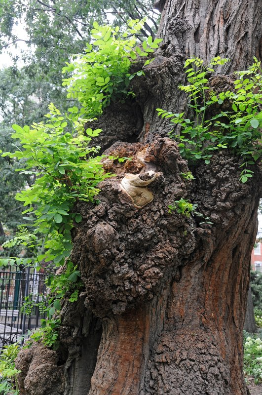 Gnarled Black Locust Tree Recently Decapitated