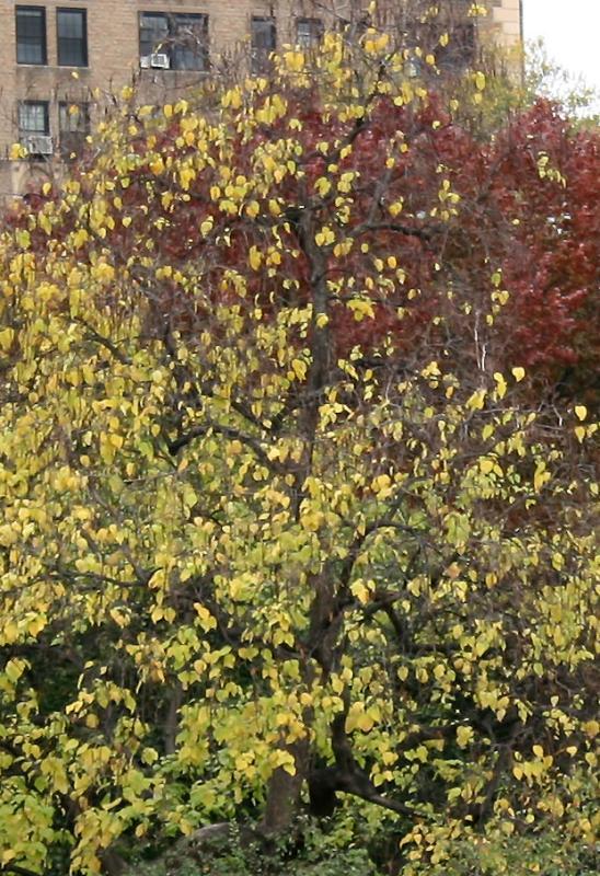 Caltalpa Tree Foliage