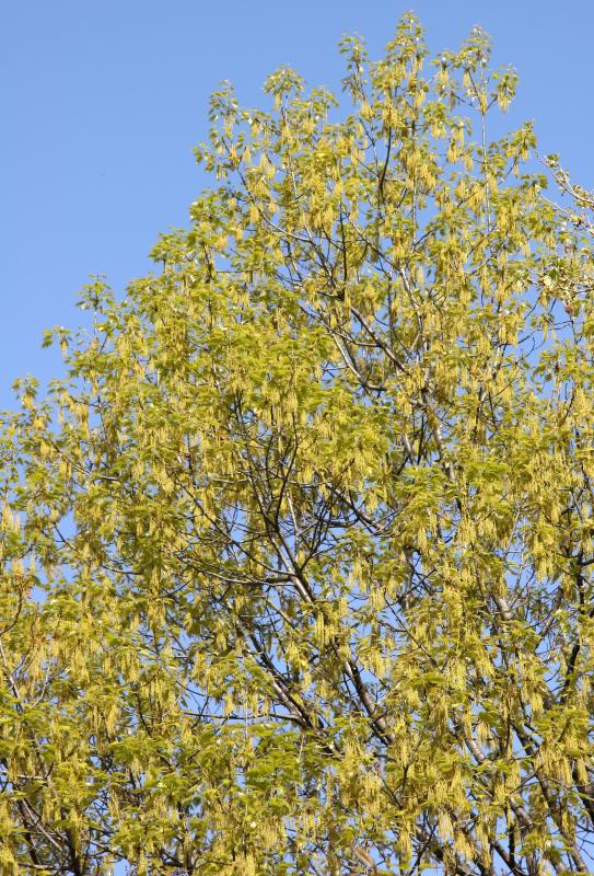 Oak Tree - New Foliage