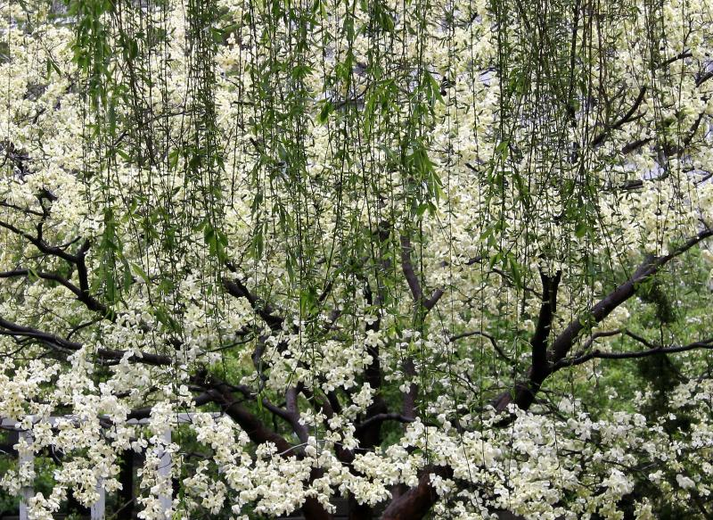 Dogwood Blossoms & Willow Tree Branches