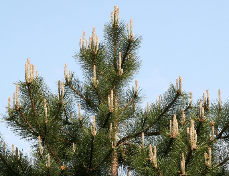 Long Needle Candalabra Pine