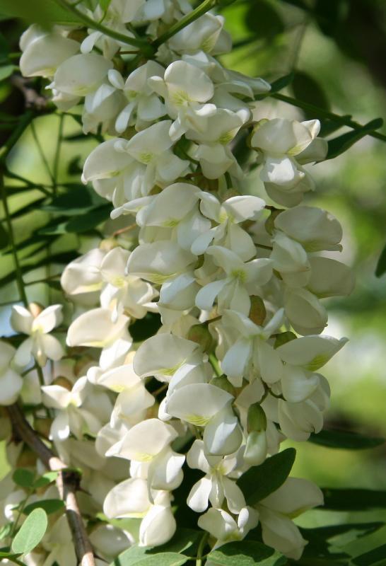 Locust Tree Blossoms
