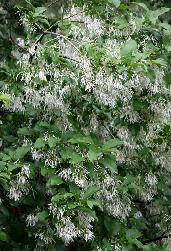 Chionanthus virginicus Fringe Tree