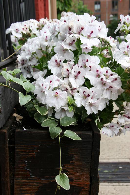 Geranium Flower Box