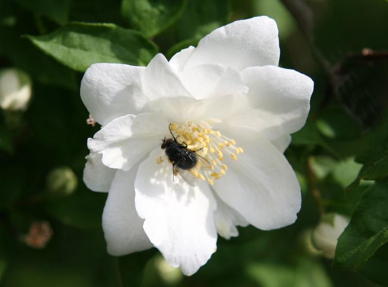 Fly in a Mock Orange Blossom