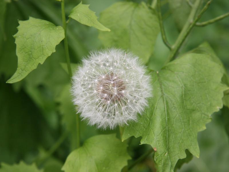 Dandelion Seed Balloon - Time Landscape Garden