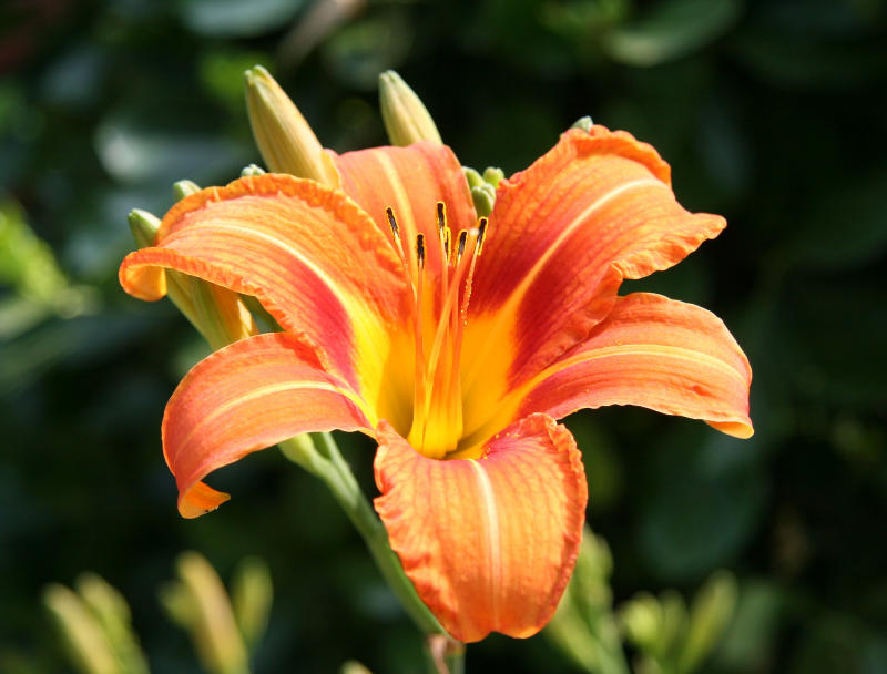 First Day Lily of the Season