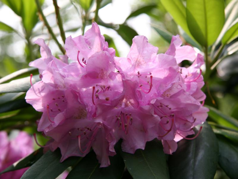 Rhododendrons after Rain