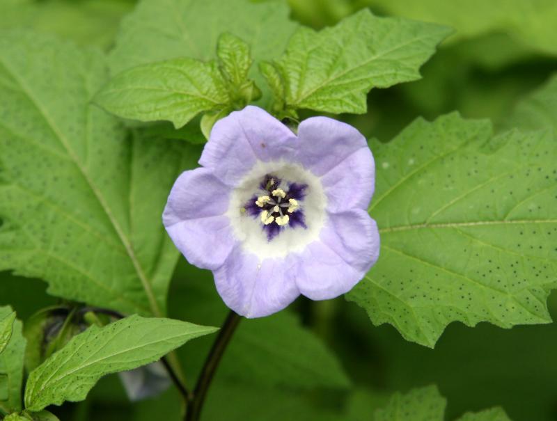 Nicandra or Shoo Fly Flower