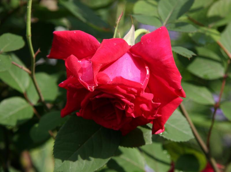 Proud Land Rose