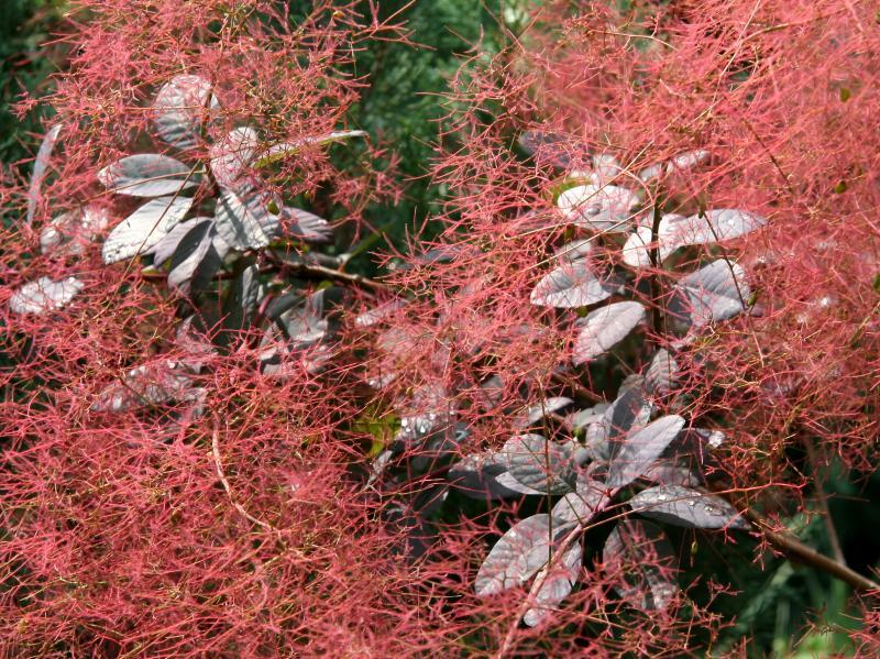 Smoke Tree Foliage & Blossoms