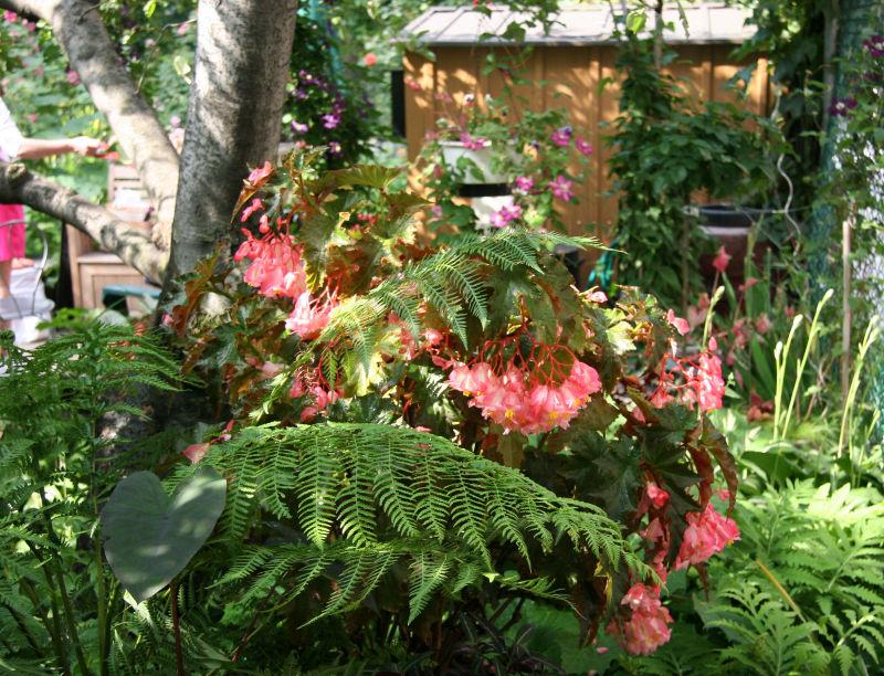 Begonia & Ferns