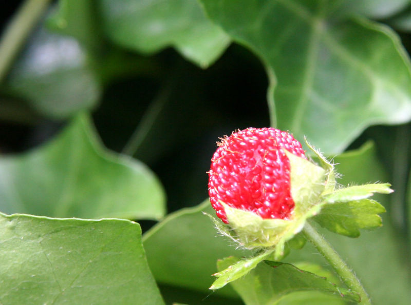 Wild Strawberry in an Ivy Patch