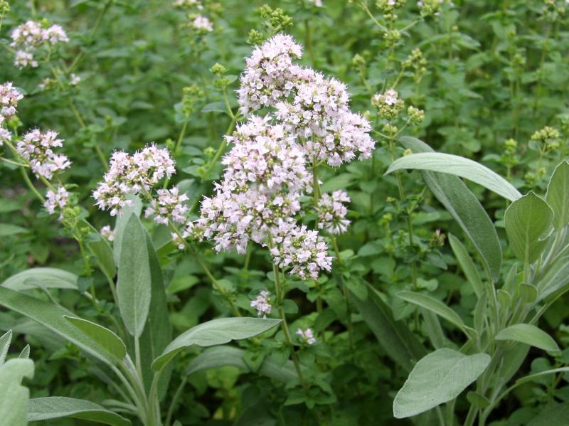Oregano Blossoms and Sage Foliage
