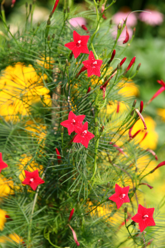 Red Flowers - Ipomoea quamoclit or Cypress Vine