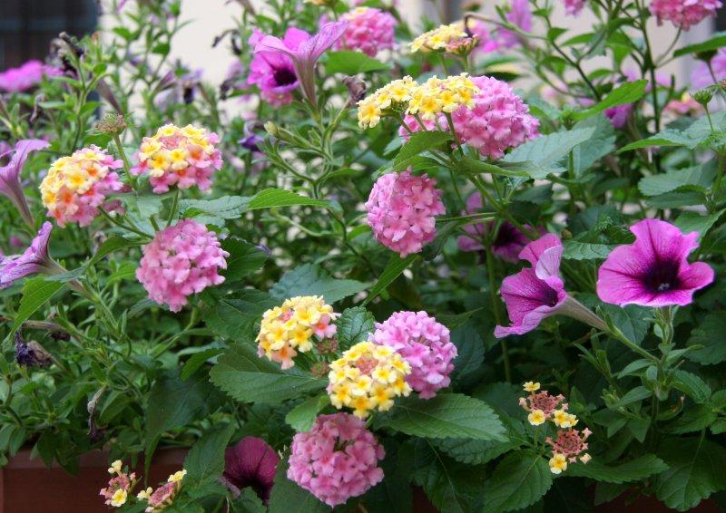 Flower Box - Lantana & Petunias