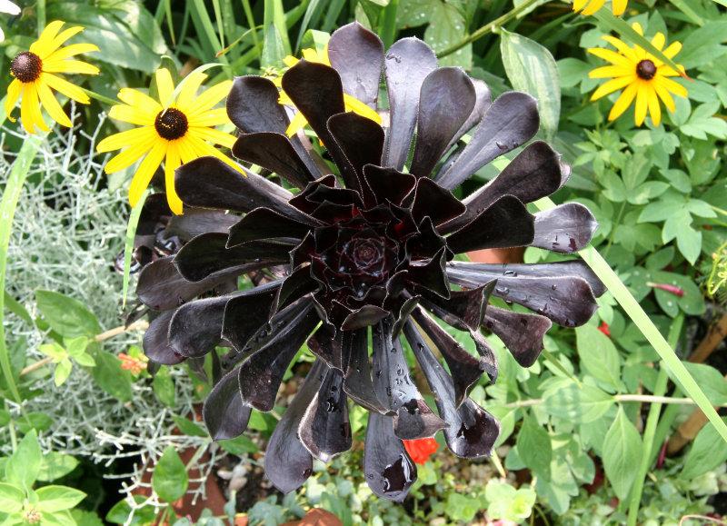 Black Rose & Blackeyed Susans