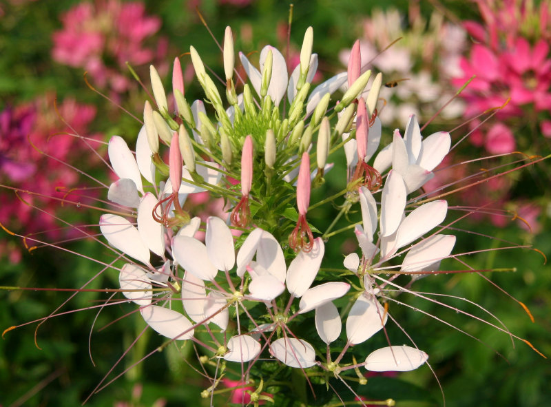 Cleome Blossoms after a Shower