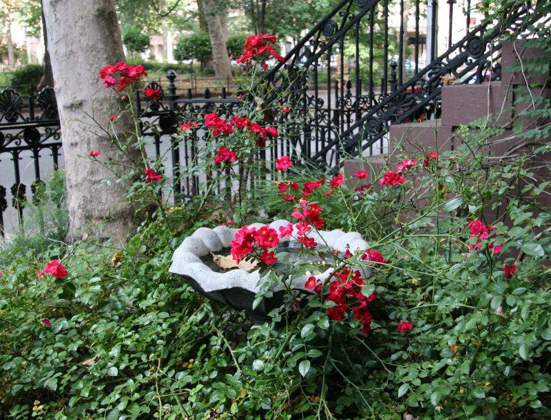 Sidewalk Garden - Bird Bath & Red Rose Bush