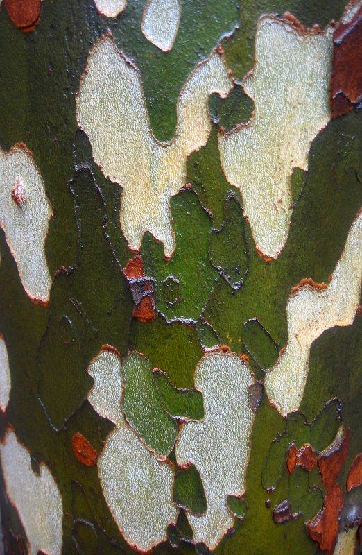 Rain Soaked Sycamore Tree Bark