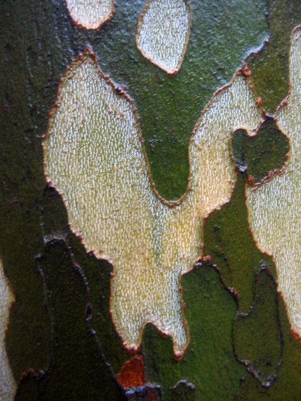 Rain Soaked Sycamore Tree Bark