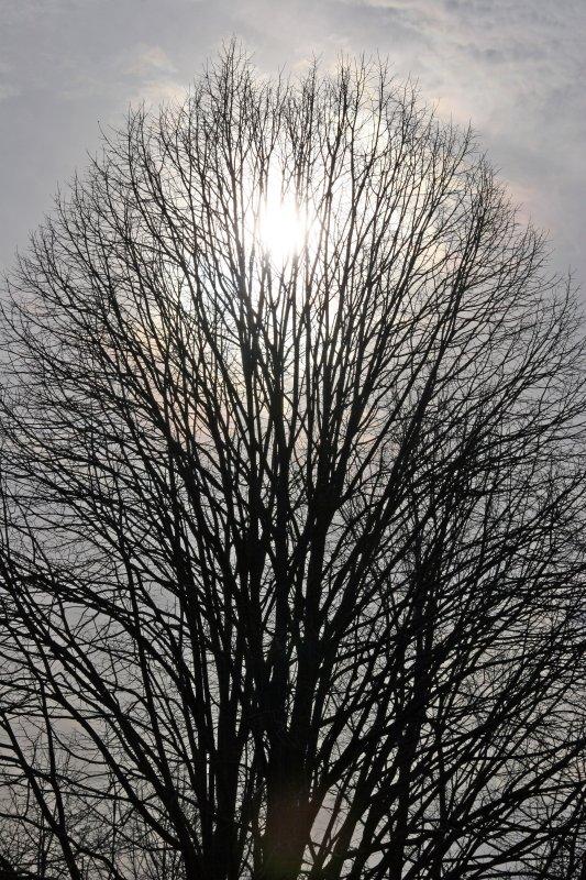 Oak Tree, Sun & Winter Sky
