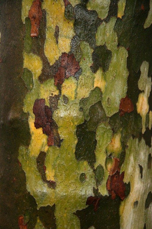 Wet Sycamore Tree Bark