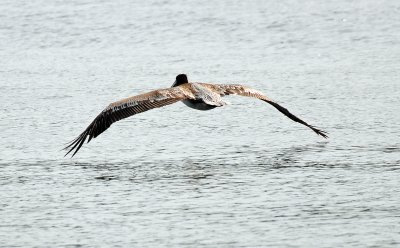 Pelican in Flight Looking for a Fish
