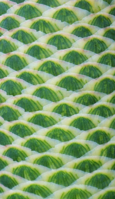 Aloe speciosa flowerbuds