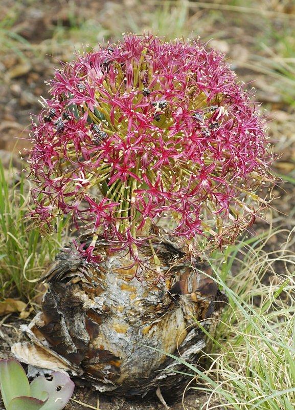 Boophone disticha, Amaryllidaceae