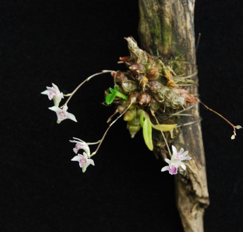 20105414  -   Dendrobium elliotianum Chas   CBRAOS