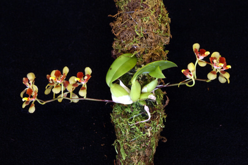 20105437  -   Gomesa coloratum Silas CBR AOS.jpg