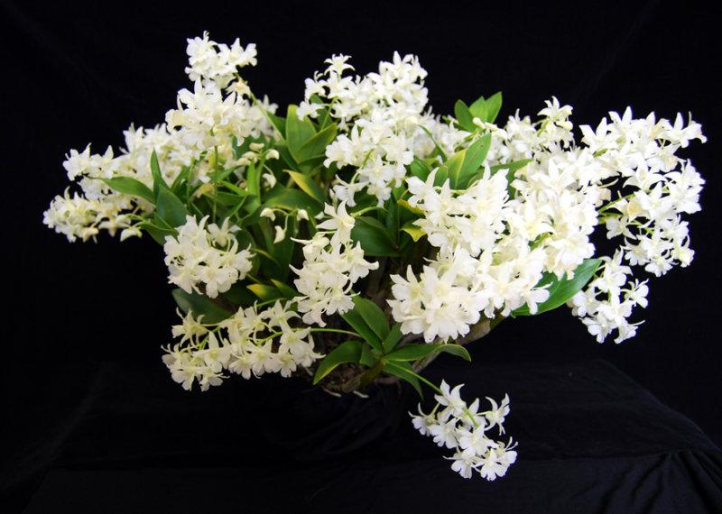 20115612  -   Dendrobium Mini Snowflake  Janice Marie  CCM AOS 88 points   9-10-2011.jpg