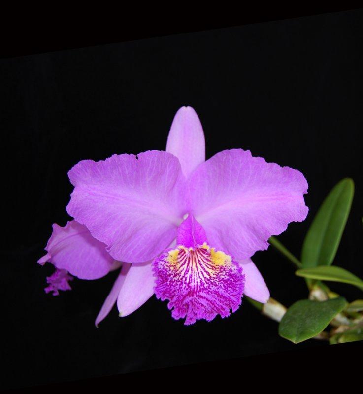 20124604  -   Cattleya lueddemanniana  Michael   HCC/AOS 79 points 4-17-1012.jpg